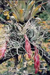 Tillandsia macdougallii, Oaxaca